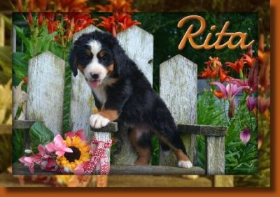 Rita Female Bernese Mountain Dog AKC