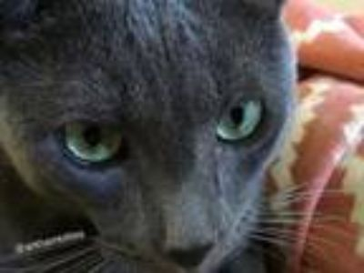 Adopt Shadow a Russian Blue