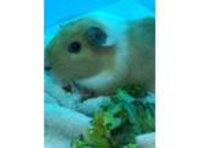 Adopt Prince Harry a White Guinea Pig / Guinea Pig / Mixed small animal in Palm