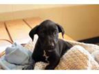 Adopt Eastwood a Black Labrador Retriever
