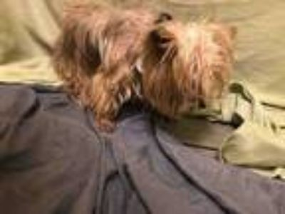 Adopt LADY a Yorkshire Terrier, Mixed Breed