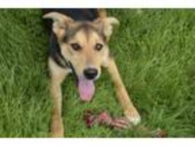 Adopt Jane a German Shepherd Dog, Labrador Retriever