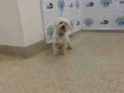 Adopt JAY a White Bichon Frise / Mixed dog in Doral, FL (25234334)