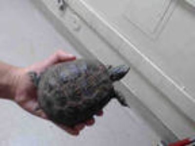 Adopt a Turtle - Other / Mixed reptile, amphibian, and/or fish in Pasadena