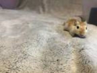 Adopt Flash a Tan or Beige Gerbil / Mixed small animal in Clearwater