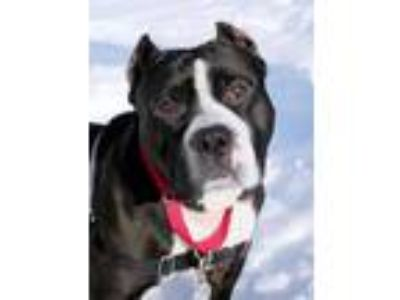 Adopt TANK a Black - with White American Pit Bull Terrier / Mixed dog in