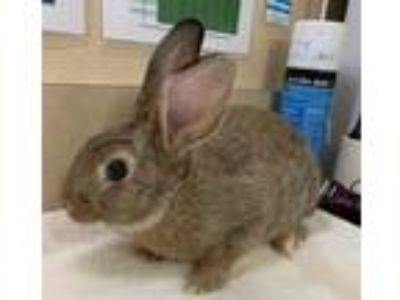 Adopt Lyle a Chocolate American / American / Mixed rabbit in Bend, OR (25298248)