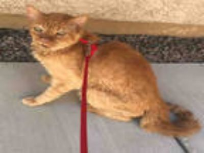 Adopt PETEY a Orange or Red Tabby Domestic Shorthair / Mixed (short coat) cat in