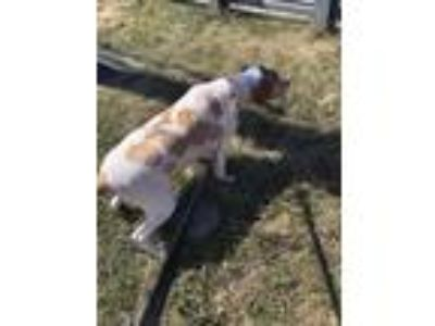 Adopt shelby a White - with Brown or Chocolate Brittany / Spaniel (Unknown Type)