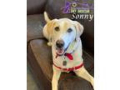 Adopt Sonny a Tan/Yellow/Fawn Labrador Retriever / Great Pyrenees / Mixed dog in