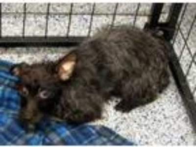 Adopt Freeda a Gray/Blue/Silver/Salt & Pepper Terrier (Unknown Type