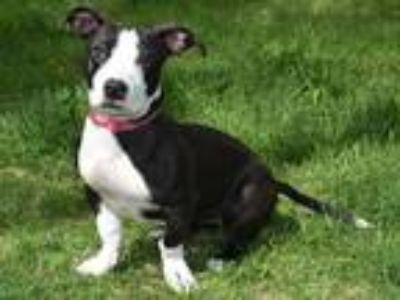Adopt BEAUTY a Black - with White Basset Hound / American Pit Bull Terrier /