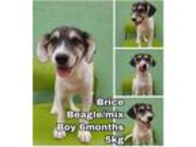 Adopt Brice from Korea a Beagle / Mixed dog in Seattle, WA (25902195)