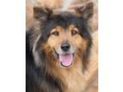 Adopt Molly von Moers a German Shepherd Dog, Shetland Sheepdog / Sheltie