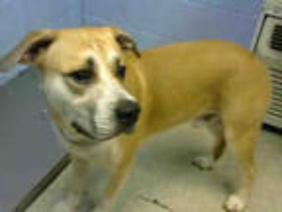 Adopt THOR a Tan/Yellow/Fawn - with White St. Bernard / German Shepherd Dog /