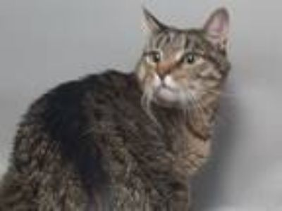 Adopt Elwood a Domestic Shorthair / Mixed (short coat) cat in Brooklyn