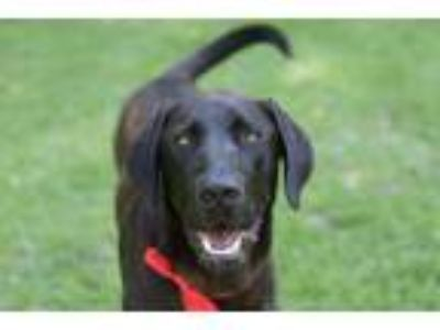 Adopt Cash a Great Dane, Black Labrador Retriever
