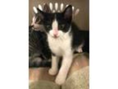 Adopt Cody a All Black Domestic Shorthair / Domestic Shorthair / Mixed cat in
