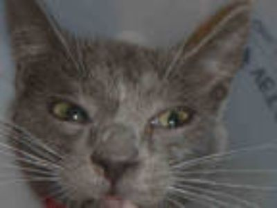 Adopt G 1 a Gray or Blue (Mostly) American Shorthair / Mixed (short coat) cat in