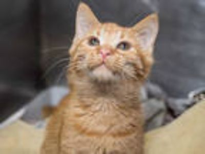 Adopt BIS a Orange or Red (Mostly) Domestic Shorthair / Mixed (short coat) cat