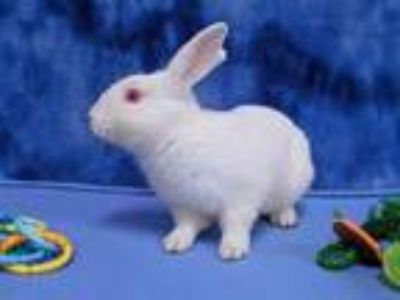 Adopt WING DING a White Other/Unknown / Mixed rabbit in Martinez, CA (24771440)