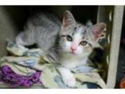 Adopt MELLY a Domestic Short Hair