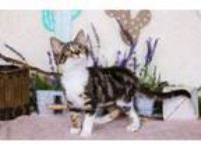 Adopt Pepper a Domestic Shorthair / Mixed (short coat) cat in San Jacinto
