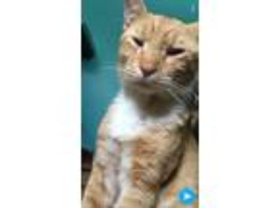 Adopt Stu a Orange or Red Tabby Domestic Shorthair / Mixed cat in Ewing