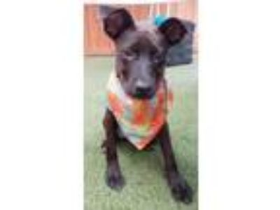 Adopt Roscoe a Black German Shepherd Dog / American Pit Bull Terrier / Mixed dog