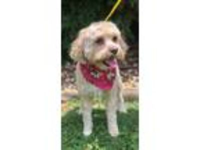 Adopt Susie and Drake a Poodle, Cavalier King Charles Spaniel