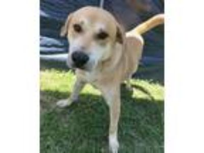 Adopt Rusty a Black Mouth Cur, Labrador Retriever