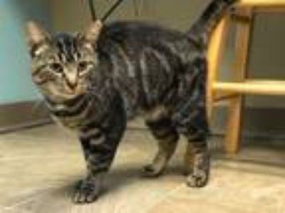 Adopt Buckles a Domestic Short Hair