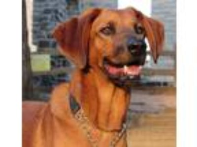 Adopt Konner / Oliver a Hound (Unknown Type) / Labrador Retriever / Mixed dog in