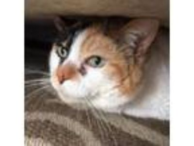 Adopt Callie a Domestic Short Hair