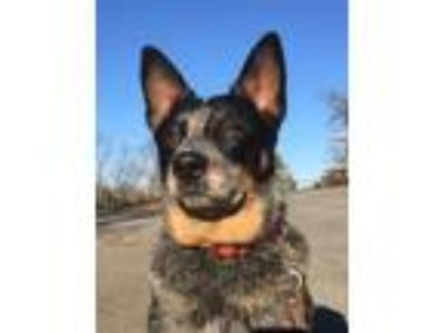 Adopt Ranger-watch my video a Australian Cattle Dog / Blue Heeler