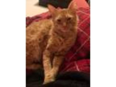 Adopt Liam a Manx, Domestic Medium Hair