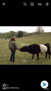 Miniature Belted Galloway Bull