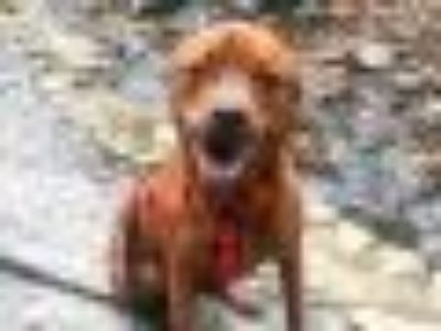HULK Boxer - Chow Chow Dog