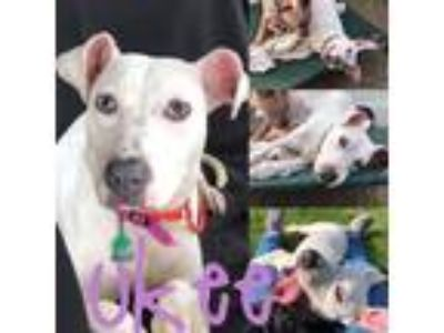 Adopt Ukee a White Pit Bull Terrier / Terrier (Unknown Type