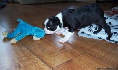 !!HIGH QUALITY KC REG PUPS READY!!Boston Terrier Puppies For Sale.