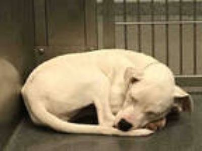 Adopt a White American Pit Bull Terrier / Labrador Retriever / Mixed dog in