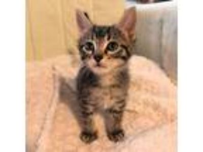 Adopt Theo a Gray or Blue Domestic Shorthair / Mixed (short coat) cat in