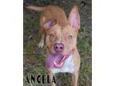 Adopt Angela a Pit Bull Terrier