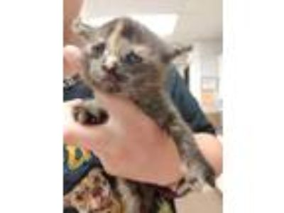 Adopt Eleanor a All Black Domestic Shorthair / Domestic Shorthair / Mixed cat in