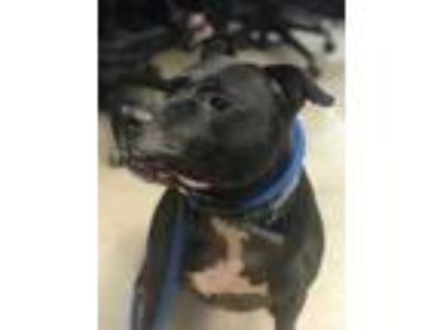 Adopt Annie a Black American Pit Bull Terrier / Mixed dog in Philadelphia