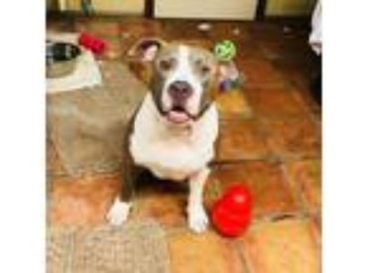 Adopt Rocky a Pit Bull Terrier / Mixed dog in North Fort Myers, FL (23722635)