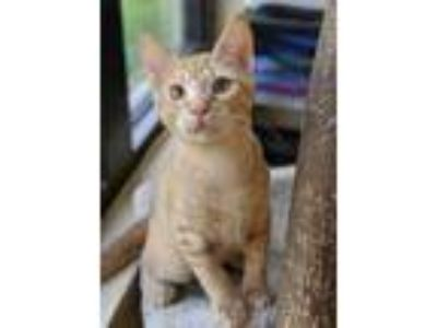 Adopt Papa Smurf a Orange or Red Domestic Shorthair / Domestic Shorthair / Mixed