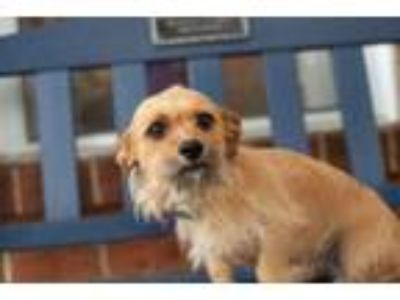 Adopt Lucy Love a Wirehaired Terrier, Dachshund