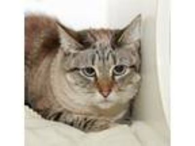 Adopt Hazey a Domestic Longhair / Mixed cat in Oceanside, CA (25659879)