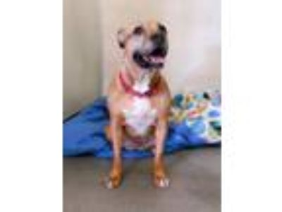 Adopt Blaire a Pit Bull Terrier, Mixed Breed